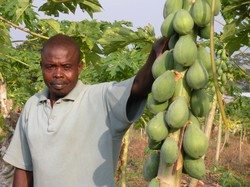 Photo of a man standing beside papaya fruits on the plant.
