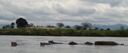 Photo of hippopotamuses in a river.