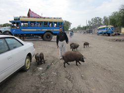 A man walking on a dirt road with cars and pigs.