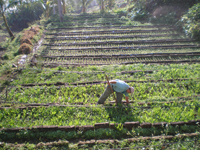 A man plowing a large garden in daylight.