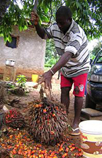A man gathering fruit from a palm oil tree.