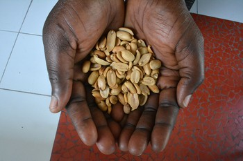 Locally produced Haitian peanuts held by a farmer.