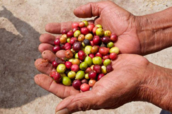 A pair of hands holding coffee berries.