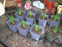 Aloe plants in blue square pots on a table, near other plants in  pink and brown pots.
