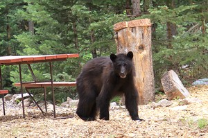 Bear at Sky Ranch