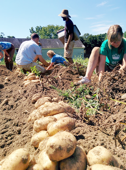 Potato harvest on the farm at Stony Point Center.
